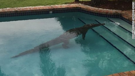 American crocodile found in swimming pool along Atlantic Ocean in the Florida Keys