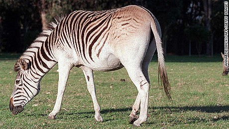 Zebra cousin went extinct 100 years ago. Now, it's back
