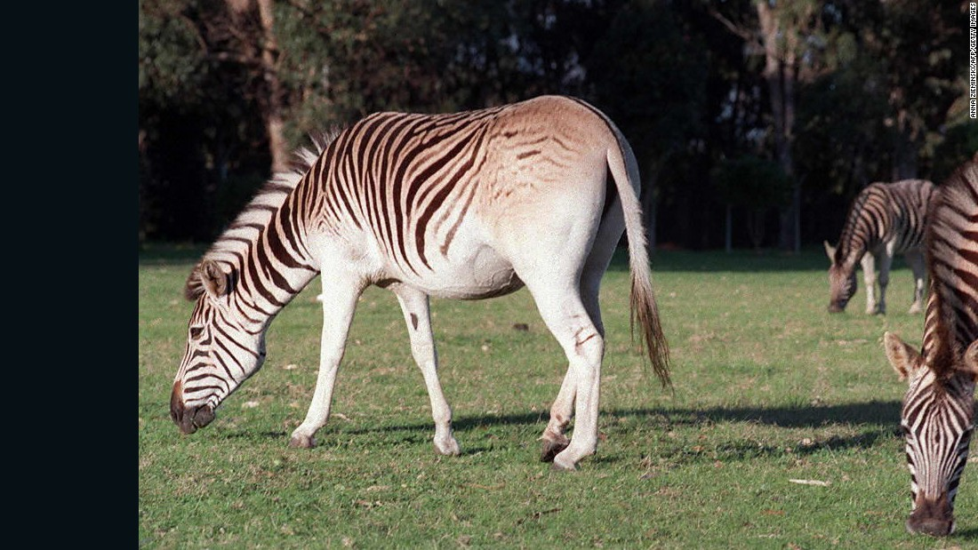 quagga were extinct for 100 years now they re back cnn