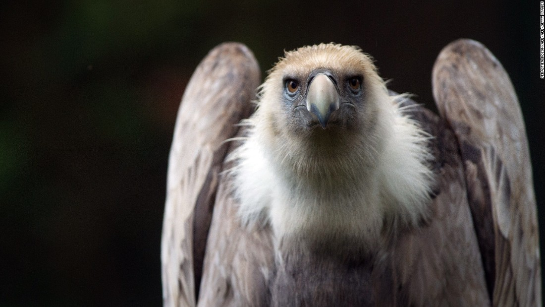 "A griffon vulture, like the one held in Lebanon. In a similar incident in 2011, officials in Saudi Arabia 'detained' a vulture on suspicion of being an Israeli spy, according to<a href=""http://www.israelnationalnews.com/News/News.aspx/141529#.VqjQZ_mLRhE"" target=""_blank""> Israel's Maariv-NRG news site.</a> It was also carrying a GPS transmitter causing locals to suspect the worst."