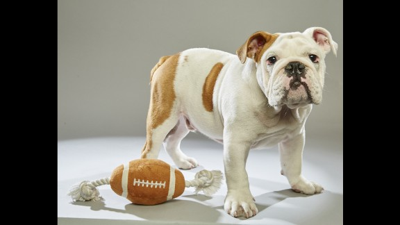 """One of 49 puppies in this year's Puppy Bowl starting lineup, bulldog Otis hails from the <a href=""""http://www.adoptwcac.org/"""" target=""""_blank"""" target=""""_blank"""">Williamson County Animal Center</a> in Tennessee. Click through the gallery to see more players, or visit Animal Planet for the <a href=""""http://www.animalplanet.com/tv-shows/puppy-bowl/photos/puppy-bowl-xii-starting-lineup/"""" target=""""_blank"""" target=""""_blank"""">full lineup</a>."""
