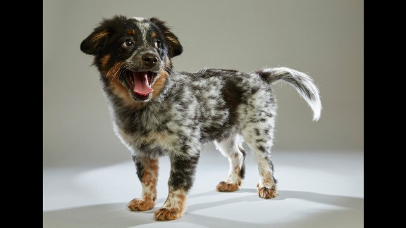 """Spaniel mix Jimmy comes to Team Ruff from <a href=""""https://www.aheinz57.com/"""" target=""""_blank"""" target=""""_blank"""">AHeinz57 Pet Rescue</a> in De Soto, Iowa. Forty-four rescue organizations across the United States were tapped for draft picks for this year's Puppy Bowl XII."""