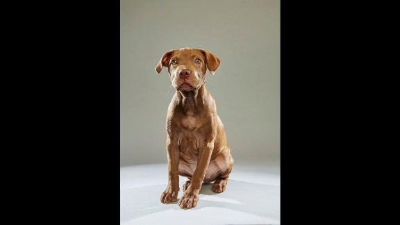 """Pit bull Harper hails from the <a href=""""http://www.adoptwcac.org/"""" target=""""_blank"""" target=""""_blank"""">Williamson County Animal Center</a> in Tennessee. Puppy Bowl viewers at home have the option of creating a custom team for the Puppy Bowl Fantasy Game."""