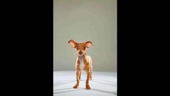 """Small but mighty Magic is a Chihuahua from the <a href=""""http://www.nevadaspca.org/"""" target=""""_blank"""" target=""""_blank"""">Nevada SPCA</a>."""