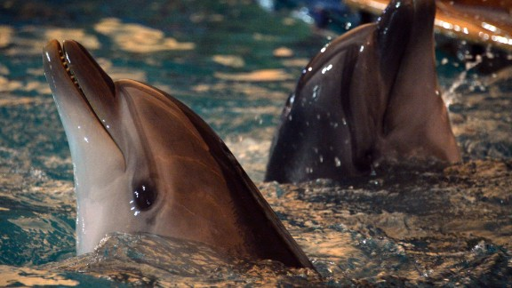 In 2015, Hamas believed it had captured Israel's most sophisticated new surveillance technology -- a dolphin spy. Operatives from Qassam Brigades -- Hamas' military wing -- confiscated spying devices mounted on the back of the animal, according to Palestinian daily al-Quds. This picture shows dolphins performing in Bishkek.