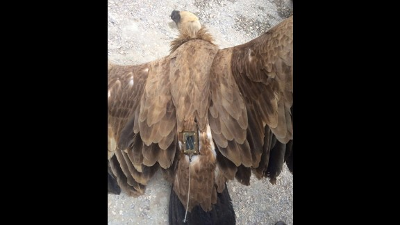 Pictures of the vulture show what appears to be a transmitter on its back.