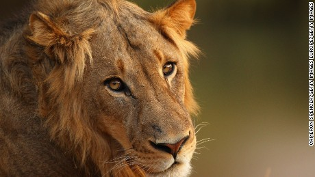 Lost lion population discovered in Ethiopia