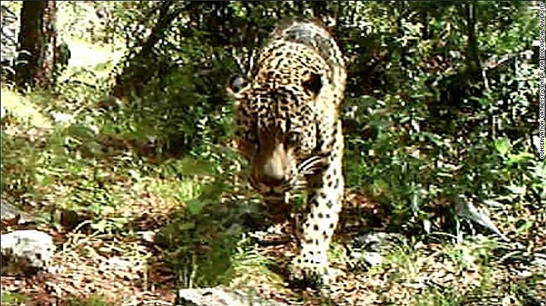 wild jaguar in u.s.? there's video of one in arizona - cnn