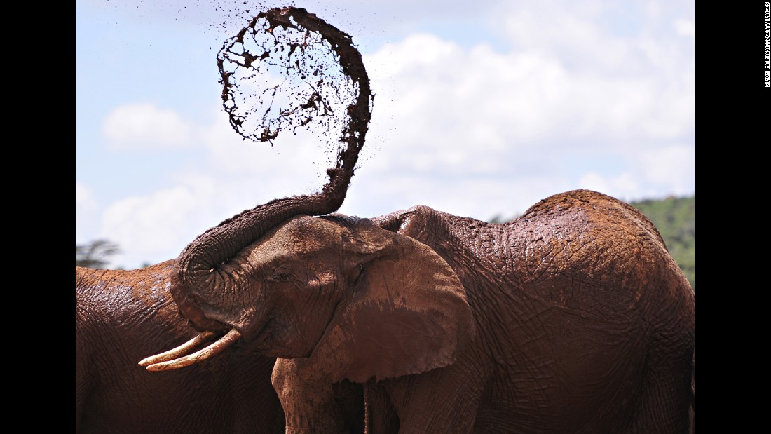 An African elephant throws mud onto himself at a research center near Rumuruti, Kenya, on Sunday, January 31.