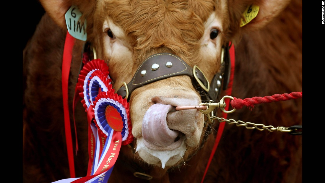 A champion Limousin bull is seen in its pen Tuesday, February 2, during the Stirling Bull Sale in Stirling, Scotland.