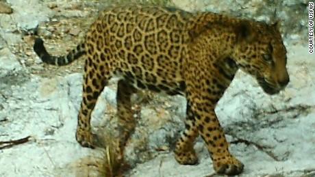 arizona's elusive, wild jaguar leads intriguing life - cnn