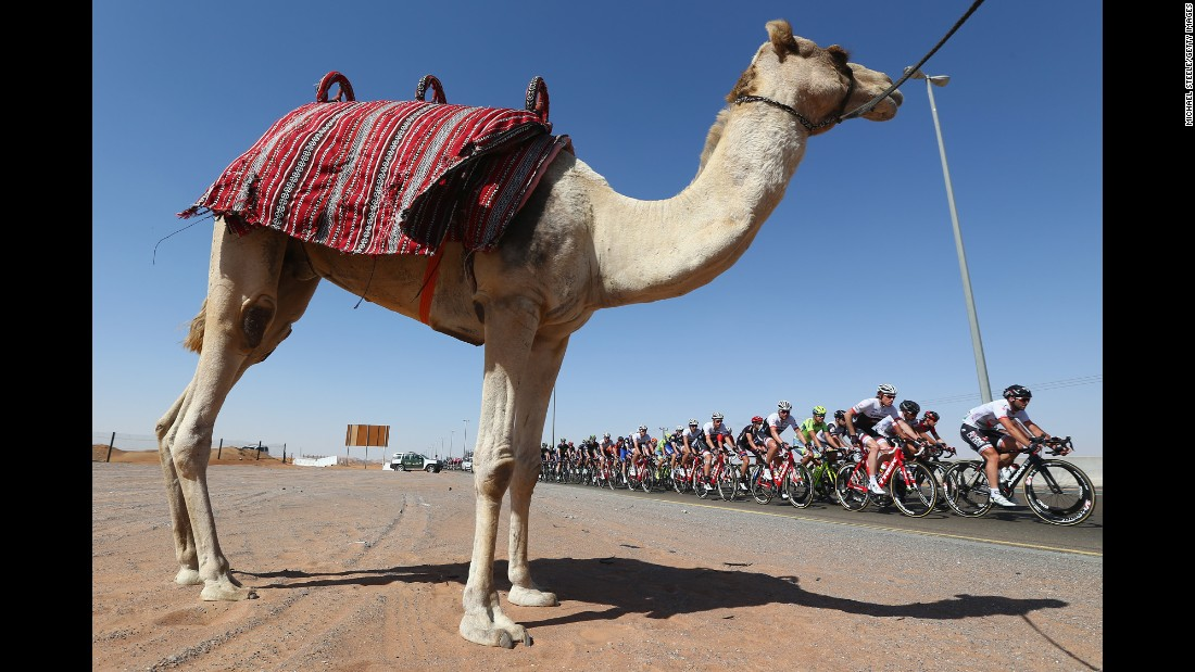 The peloton passes by a camel Friday, February 5, during the third stage of the Tour of Dubai in the United Arab Emirates.