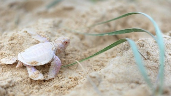 Wildlife conservation volunteers discovered the pale pink creature while counting empty turtle shells in a nest on the beach.
