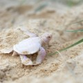 Alby albino green turtle 2