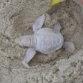Alby albino green turtle 4