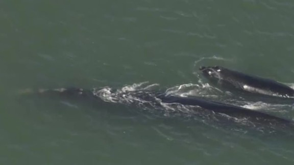 endangered right whales spotted sebastian inlet florida _00002920.jpg