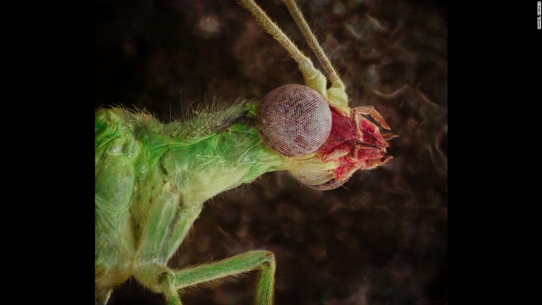 A green lacewing