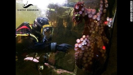 Kong the octopus weighs 70 pounds.