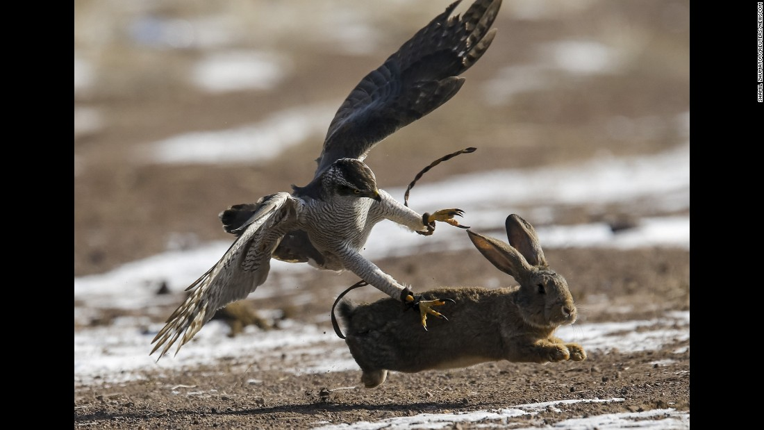 A tamed hawk attacks a rabbit during a traditional hunting contest near Nura, Kazakhstan, on Saturday, February 13.