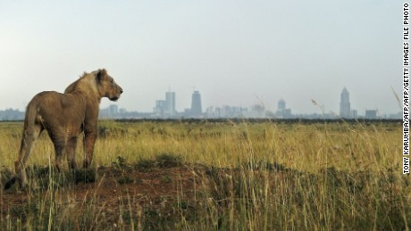 A young lion looks toward the city skyline at the Nairobi National Park last year.