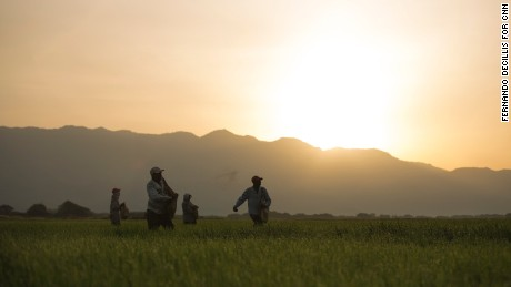 Haitian workers spread fertilizer on a rice field in Esperanza, Dominican Republic, in July 2015. Their children were born in the Dominican Republic and are citizens, though civil rights groups say the government discriminates against both parents and their Dominican-born children.