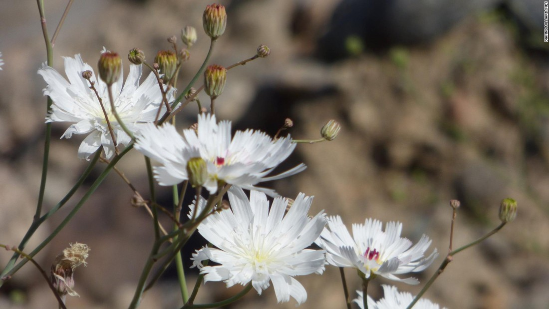Gravel Ghost (Atrichoseris platyphylla) gets its name from how the plant's pale white flowers look from afar. Some say they appear to float in the air. The herb is native to California's deserts.