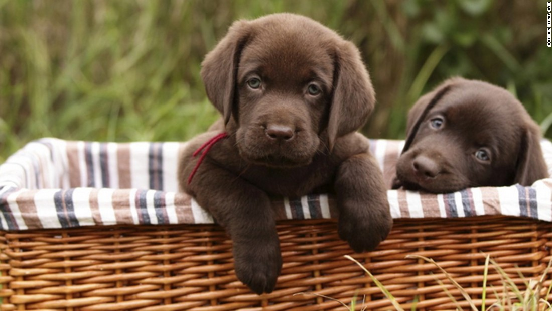 labrador retrievers named america s most popular dog cnn