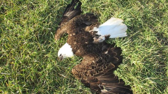 Thirteen dead bald eagles were found Saturday on a farm and in a woods in Federalsburg.