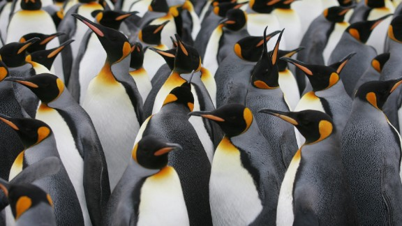 A colony of king penguins on Possession Island, which lies close to Pig Island.
