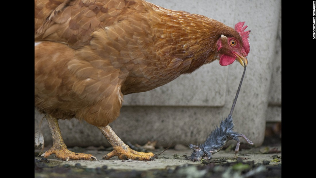 A chicken tries to eat a dead rat on a ranch in Roseburg, Oregon, on Sunday, February 21.