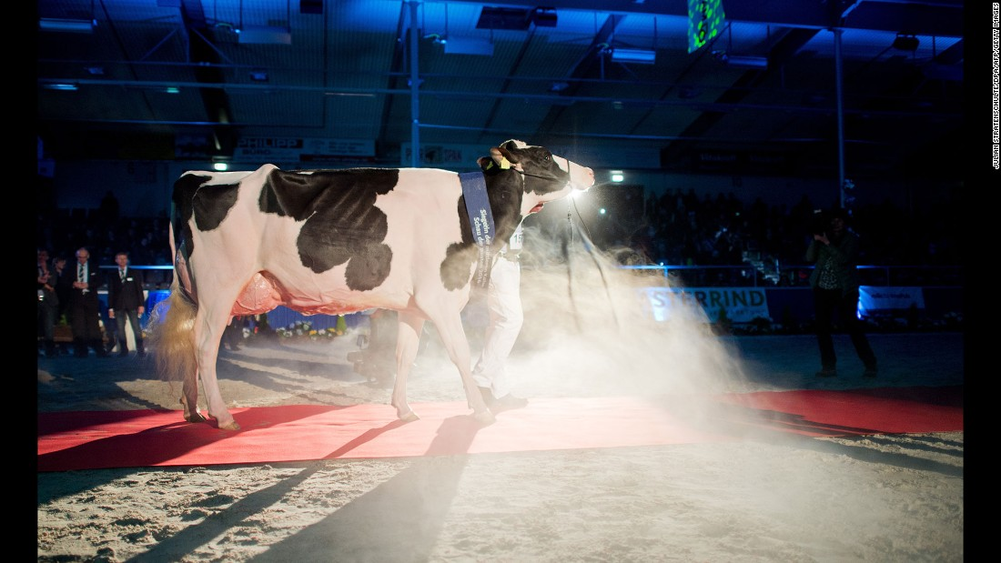 A cow is escorted to the final round of a cow beauty contest in Verden, Germany, on Thursday, February 25.