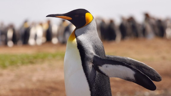 VOLUNTEER POINT, FALKLAND ISLANDS - FEBRUARY 05:  A King Penguin stetches it's wings on February 5, 2007 at Volunteer Point, Falkland Islands.  (Photo by Peter Macdiarmid/Getty Images)