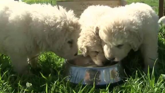 california sheepdog 17 puppy litter pkg_00002513.jpg