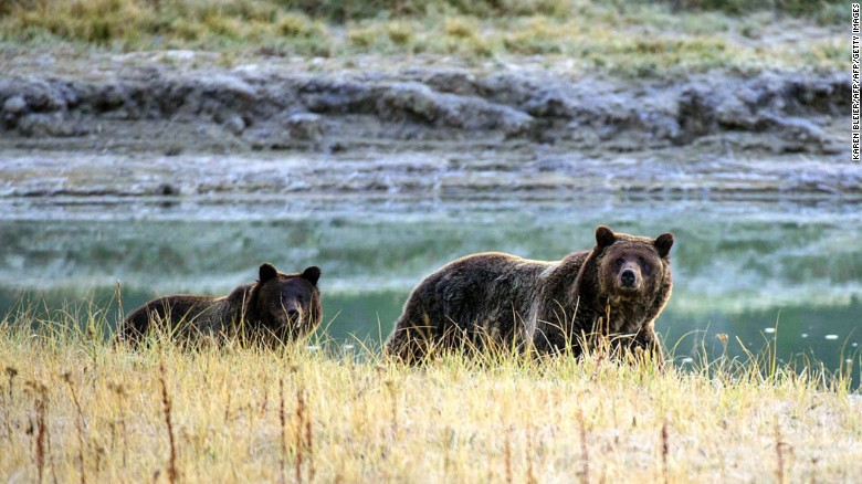 The federal government might reintroduce grizzly bears to the North Cascades in Washington
