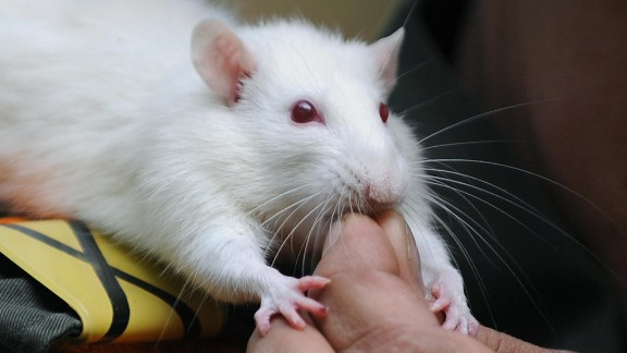 Rats have finger ratios that are similar to humans