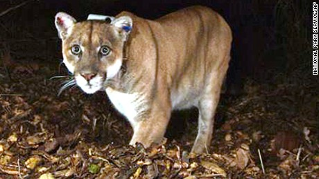 FILE - This Nov. 2014 file photo provided by the National Park Service shows the Griffith Park mountain lion known as P-22. Officials believe P-22, the wild mountain lion that prowls Griffith Park in Los Angeles, made a meal of a koala found mauled to death at the LA Zoo. The zoo's director, said this week that workers found the koala's body outside its pen March 3. (National Park Service, via AP, File)
