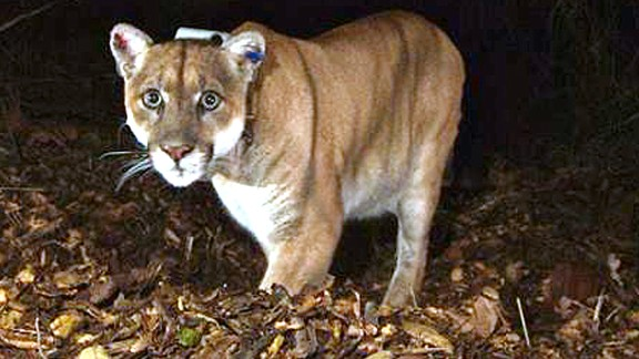 FILE - This Nov. 2014 file photo provided by the National Park Service shows the Griffith Park mountain lion known as P-22. Officials believe P-22, the wild mountain lion that prowls Griffith Park in Los Angeles, made a meal of a koala found mauled to death at the LA Zoo. The zoo