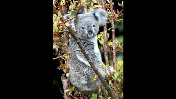 A 14-year-old adult female koala named Killarney was found dead at the Los Angeles Zoo.