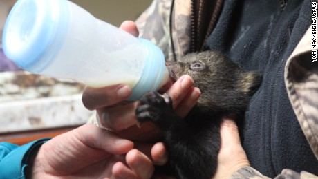 Secretary of Interior Sally Jewell helps feed an orphaned bear cub.