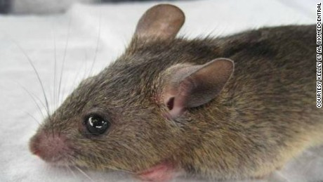 Touching, eating or sniffing foods or other household items that have been contaminated by rats is a primary way Lassa fever is transmitted to humans.