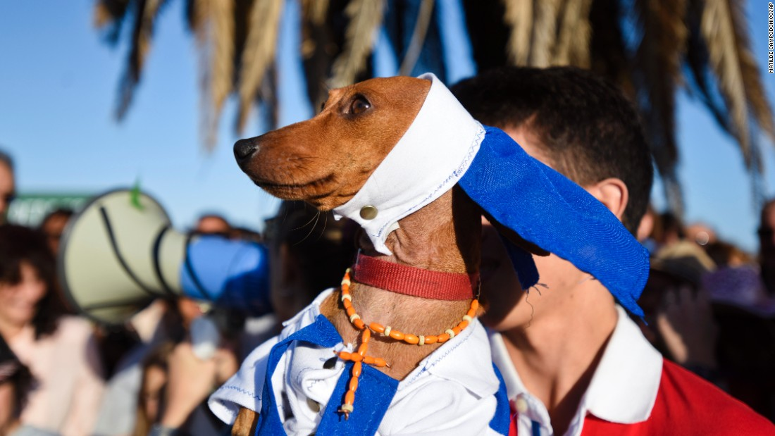 A dachshund in a nun costume attends a parade with other costumed dachshunds in Montevideo, Uruguay, on Sunday, March 13.