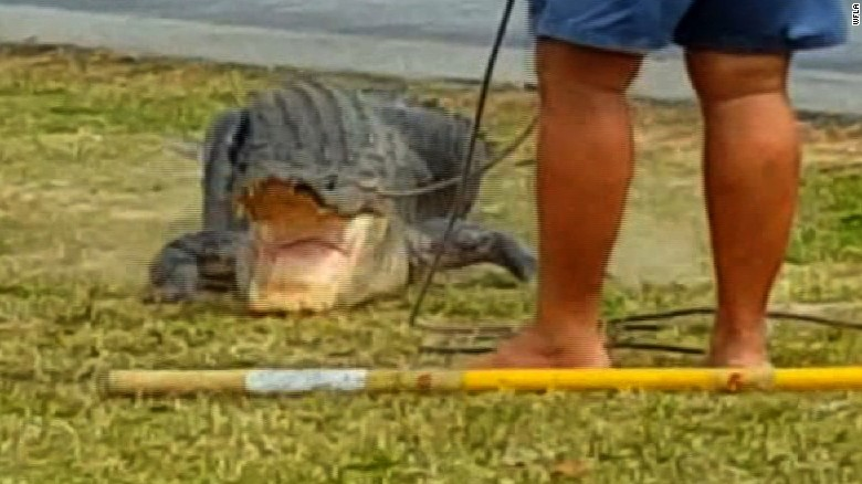Alligator Caught On Camera Trying To Eat Python Cnn Video