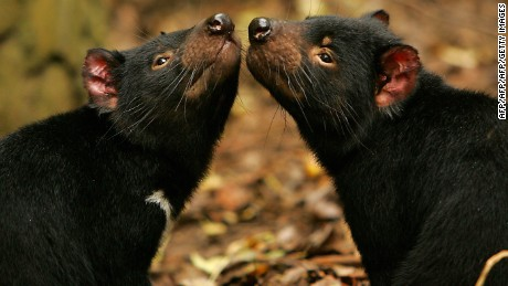 Don't let the cute pose deceive you. The carnivorous Tasmanian devil, found only in Tasmania, can be feisty.