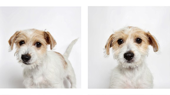 Rogue is a 2-month-old Jack Russell terrier mix.