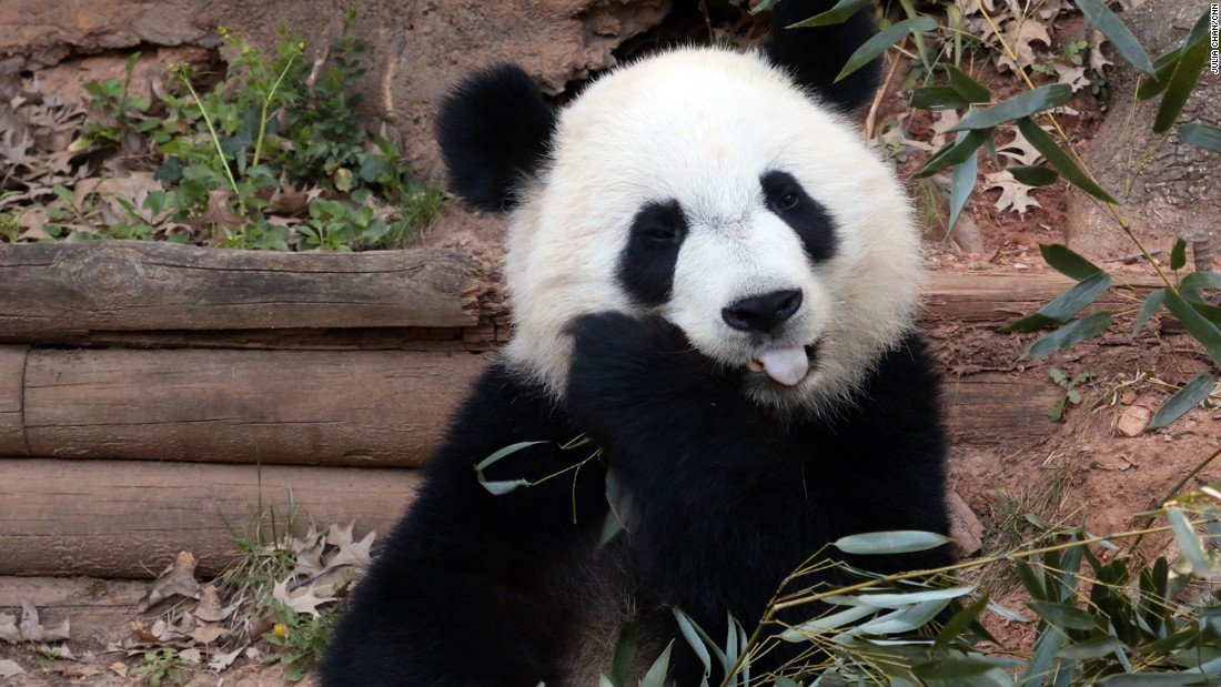 Zoo Atlanta has donated more than $10 million for the conservation of giant pandas in China.