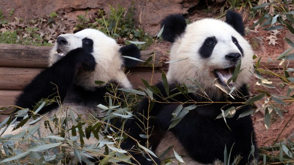 Zoo Atlanta panda twins Mei Lun and Mei Huan enjoy eating bamboo when they're not playing or napping.