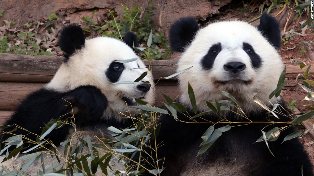 Zoo Atlanta has panda twin cubs -- sisters named Mei Lun and Mei Huan. They were born on July 15, 2013 at the zoo. They are the first panda twins born in the United States since 1987.