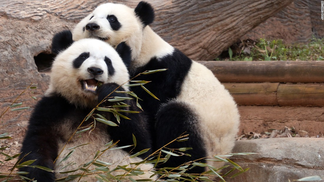 A panda's diet consists mainly of bamboo, but the animals are classified as carnivores.