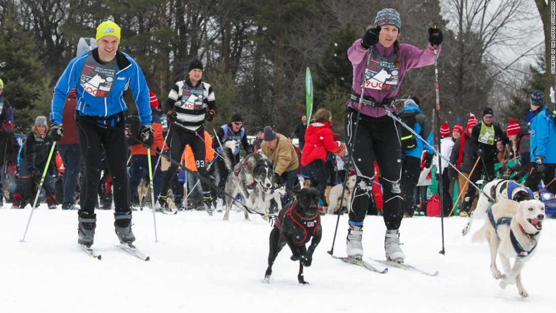 Mixed breeds such as a German shorthaired pointer combined with Greyhound are particularly competitive skijor dogs.