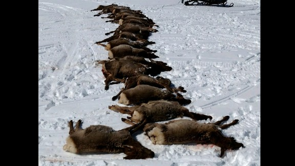 A pack of wolves killed a herd of elk earlier this month; Wyoming officials say there